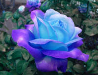 Colored Roses Wholesale Colored Roses Seeds Buy Cheap Colored Roses Seeds From