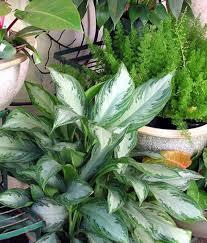 Common Tropical House Plants - common indoor plants snake plant sansevieria trifasciata cleans