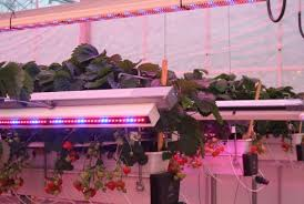 horticultural led grow lights research finds strawberries better under led grow lights