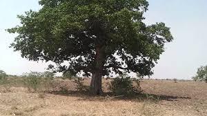 amazing tree in india youtube