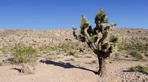 time lapse of joshua tree in california mojave desert 4k video