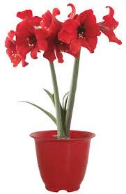 amaryllis plant pot firecracker amaryllis bulb