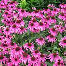echinacea flower purpurea magnus compact purple cone flower pack of