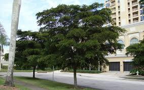 black olive trees for sale punta gorda