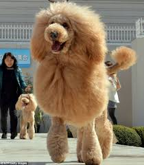 standard poodle hair styles toy poodle haircut styles find hairstyle