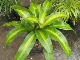 Green Plants Tropical Plants With Stripes And Blends Of Green And White U2013 Be
