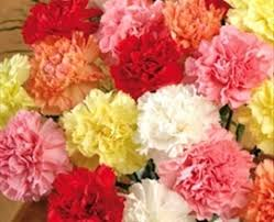 wholesale carnations fancy carnations wholesale bulk carnations wholesale