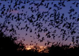 mexican free tailed bats flying bats animal and pup
