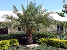 outdoor u0026 garden interesting garden with robellini palm tree and