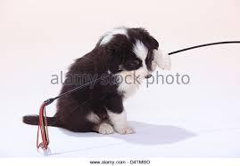 australian shepherd 6 weeks 6 weeks dogs playing stock photos u0026 6 weeks dogs playing stock