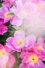 Peonies Flower Pink Peonies Flowers Floral Nature Background Stock Photo Image