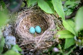 bird nest images stock pictures royalty free bird nest photos
