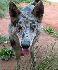 australian shepherd boxer mix calypso the australian shepherd husky mix dogs daily puppy