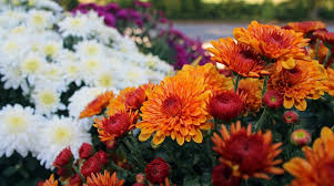 Fall Flowers Free Images Fall Flower Petal Summer Orange Autumn