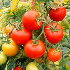 tomato grafted plants nimbus tomato plants vegetable plants