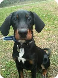 australian shepherd tan cowboy adopted puppy new milford ct australian shepherd