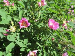 native plants to oregon when and if to prune the rose your garden companion l l c