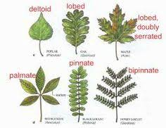 trees leaves identification search treeology
