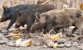 Ohio wild animals images Feral swine in ohio managing damage and conflicts ohioline png
