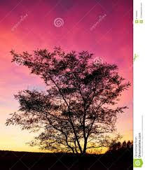 black tree contour in back sunset purple and light stock