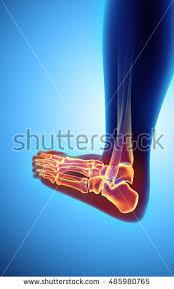 Skeletal Picture Of Foot Foot Anatomy Stock Images Royalty Free Images U0026 Vectors