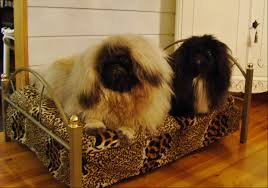 queen s dogs pekingese www smallfurry fi