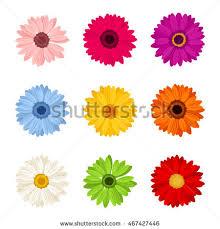 gerbera colors gerbera stock images royalty free images vectors