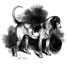 bluetick coonhound gascon american blue gascon hound natural history