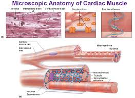microscopic anatomy of the heart a you see that u201cegg carton