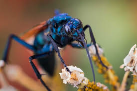6 things to know about tarantula hawk wasps with u0027traumatically