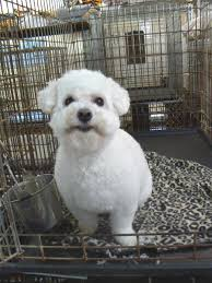 bichon frise jumping bichon frise grooming want to know more about pet dogs click
