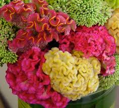coxcomb flower flower guide flirty fleurs the florist inspiration for