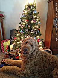 tales spencer the goldendoodle
