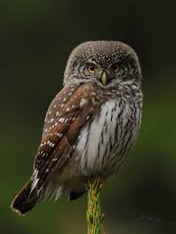 Barn Owl Photography Eurasian Pygmy Owl Lars Madsén Bird Photography
