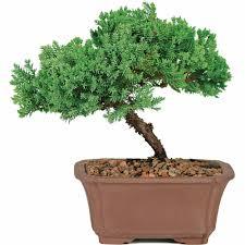 japanese red maple bonsai tree walmart com