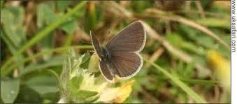 small blue butterflies cupido minimus uk safari