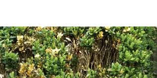 English Box Topiary - buxus disease box hedge brown patches dying hedging