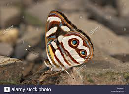 blue eyed sailor butterfly with wings closed showing complex