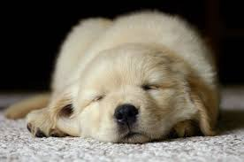 Comfort Retrievers For Adoption Puppies For Rent The Surprising World Of Puppy Temps Rover Com