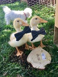 not a backyard chicken but my backyard ducks wearing their new