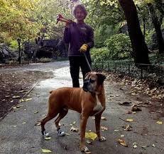 boxer dog uncontrollable head shaking boxer dog degenerative myelopathy