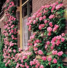 Fragrant Climbing Plants - types of fragrant climbing plants jasmine hgtv and plants