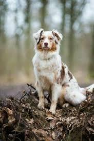 australian shepherd overprotective pin by mary wallwin on animals pinterest dog animal and aussies