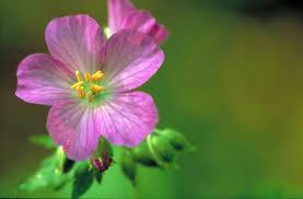 free picture pretty purple wild geranium flower bloom