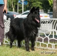 belgian shepherd history file belgian shepherd dog groenendael 벨지안 셰퍼드 독 그로넨달