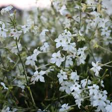 The Most Fragrant Plants - flowering tobacco grandiflora plants seeds and gardens