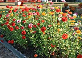 Cut Flower Garden by Zinnias Are Easy To Grow Bring Blooms To Summer Mississippi