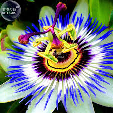 aliexpress com buy bellfarm passiflora passion mixed flowers