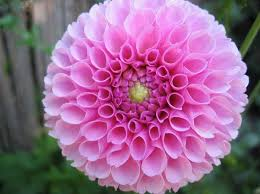 Las flores que nos gustan. Images?q=tbn:ANd9GcRvtNeBrfZX7VWomk8enj2fc2iNcbSuZMlq7t2lZ6Ey7eQZdyfTKg