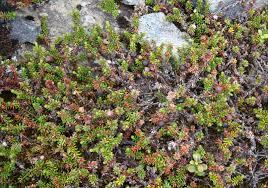 native edible plants australia psychoactive plants of the vikings ethnobotany the corroboree
